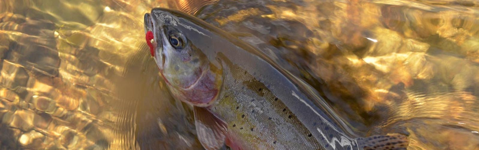 Western Native Trout