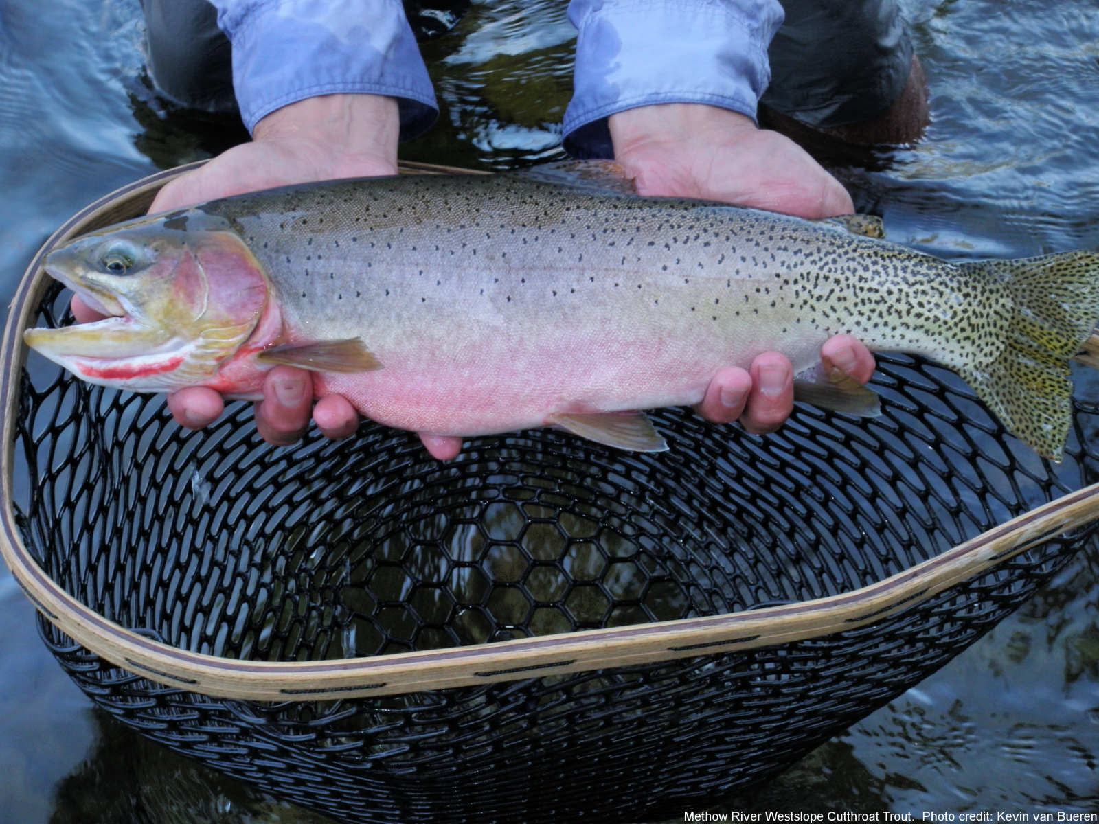Westslope Cutthroat Trout – Western Native Trout